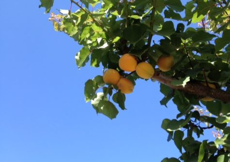 20 Acres of Apricot Orchard in Hollister, California